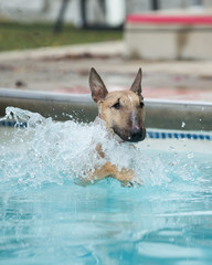 Red bull terrier swimming in the pool