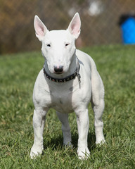 White English Bull Terrier posing at the park