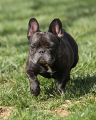 French bulldog posing for a picture