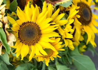 Yellow sunflower bunch