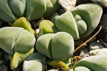 Gibbaeum dispar, South Africa