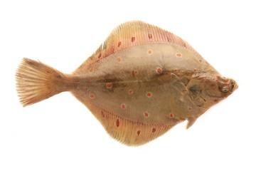 Lemon Sole fish isolated on white background