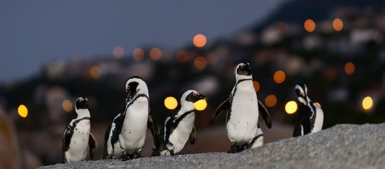 The African penguins in twilight.