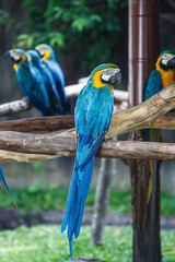 Blue-and-Yellow Macaw (Ara ararauna), also known as the Blue-and