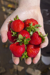 Young Hand Filled With Ripe, Organic Strawberries