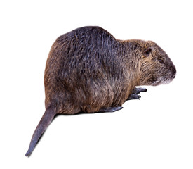 Coypu on white  with shade
