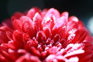 水滴の付いた菊の花