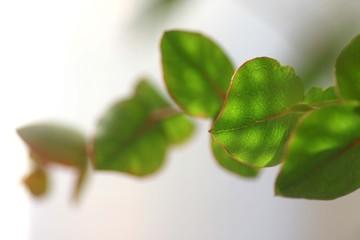 光の当たった葉っぱ