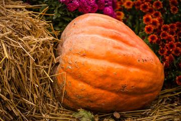 Harvested pumpkin  in the garden
