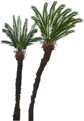 two high palm trees isolated on white