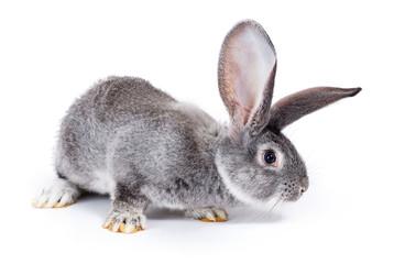 Curious grey rabbit sniffing