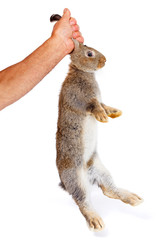 Man's hand holding a young brown rabbit