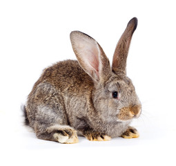 Brown rabbit sitting on white