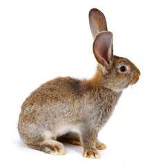 Brown rabbit sitting on white