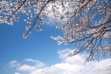 青空と満開の桜の枝