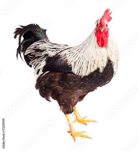 Staande foto Kip Black and white rooster in studio