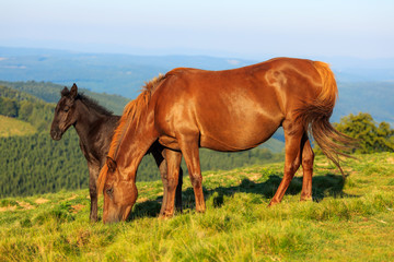 Wild horse and foal on the hill