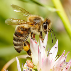 Macro of honey bee on flower