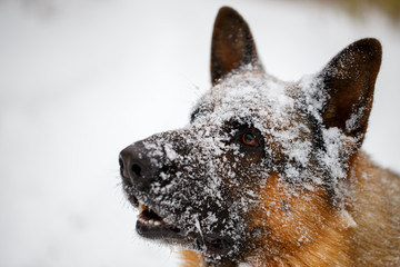 close-up German shepherd with snout in snow