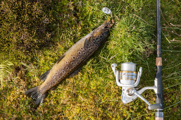 Wild brown trout laying on grass with rod and reel