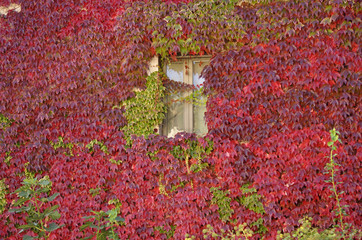 Colored ivy on a window