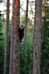 Brown bear cub on a tree