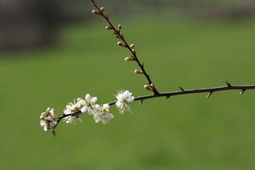 Prunelier ou épine noire (prunus spinosa)