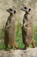 Couple of suricates