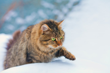 Siberian cat walking in the snow