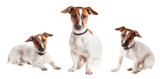 Jack Russell Terrier puppy isolated - 72299734
