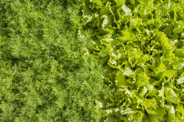 Fresh green lettuce and dill.
