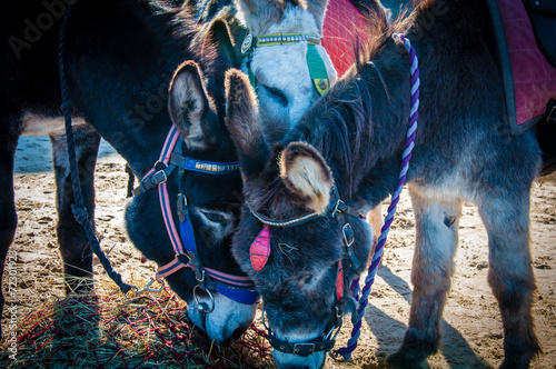 Poster Ezel Donkeys on the beach eating hay