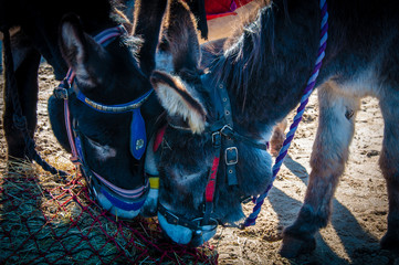 Donkeys on the beach eating hay