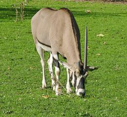 Beisa Oryx - Oryx Beisa Beisa