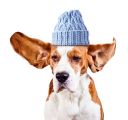 beagle in blue hat  on white