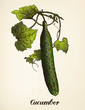 Cucumber vintage illustration vector