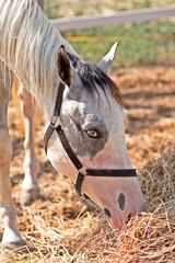 Cavallo profilo mangia fieno