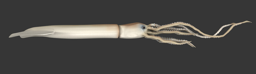 Giant squid (Architeuthis)