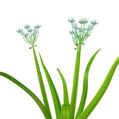Allium cepa (onion tree)