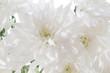 White fresh beautiful chrysanthemums close up