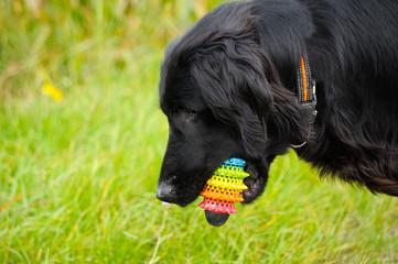 Hund Retriever mit Spielzeug