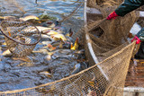 Autumn harvest of carps from fishpond.
