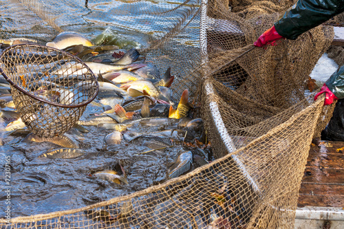 Autumn harvest of carps from fishpond. - 72307165