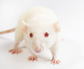 white laboratory rat on white background
