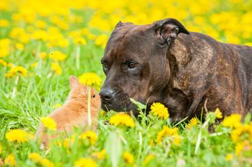 American staffordshire terrier kissing little rabbit