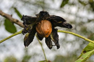 nut on a branch