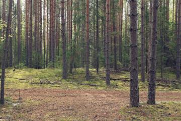 dense spruce forest in summer