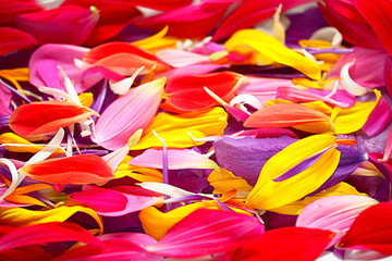 The natural texture of multicolored flower petals, colorful