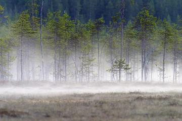 Forest bog in fog