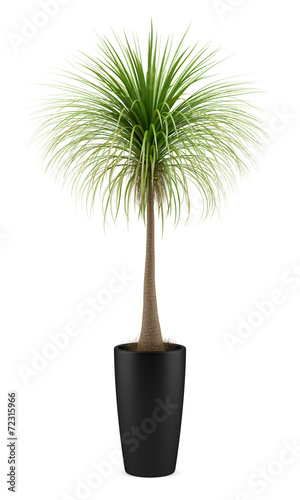 Foto op Plexiglas Palm boom potted palm tree isolated on white background